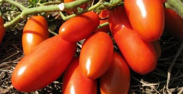 Сладкий томат груша черная: особенности и описание сорта, секреты выращивания, отзывы