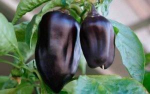 У перца гниют плоды — как бороться?