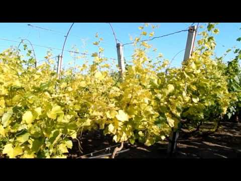 Почему желтеют листья у винограда и что с этим делать