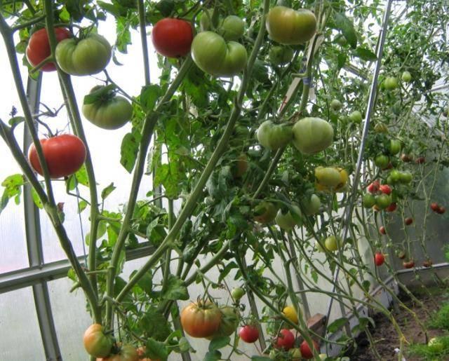 Характеристика томата райское наслаждение и выращивание в домашних условиях