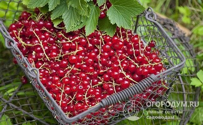 Рецепты заготовок из красной смородины без сахара: соки, компоты и варенье