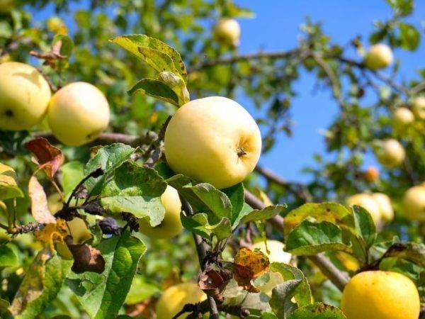 Сорт яблони «юнга»: характеристика, плюсы и минусы