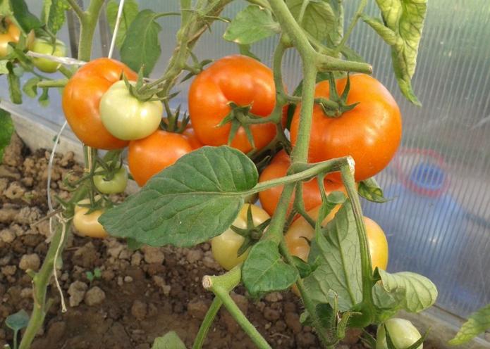 Раннеспелый гибрид томатов примадонна f1: удачное сочетание неприхотливости и высокой урожайности