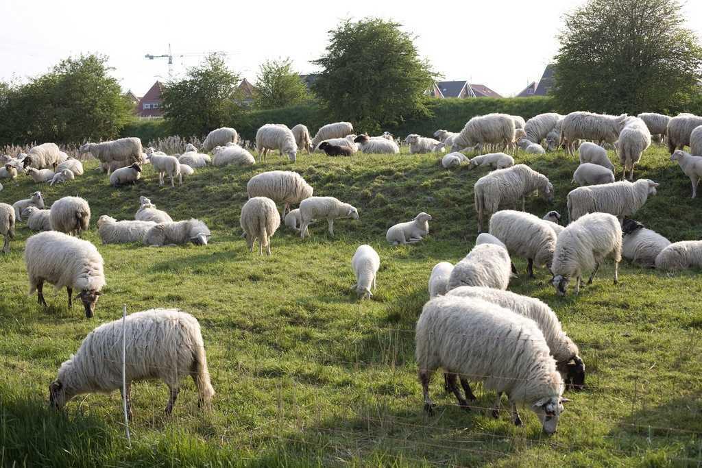 Отличительные особенности карачаевских овец, преимущества и недостатки, правила ухода за животными