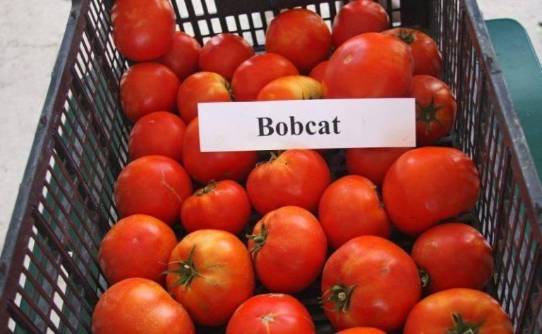 Томат джина тст: отзывы, фото, урожайность, характеристика