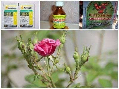 Чем обработать розы от тли, как бороться препаратами и народными средствами