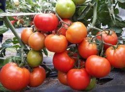 Томат демидов: отзывы, фото, урожайность, характеристика и описание сорта, достоинства и недостатки