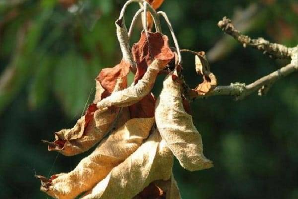 Опасные болезни ствола яблонь и их лечение. советы профессионалов