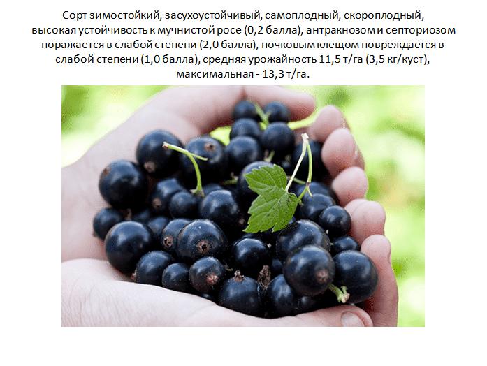 21 сорт смородины черной, крупноплодной и сладкой — лучшие крупные