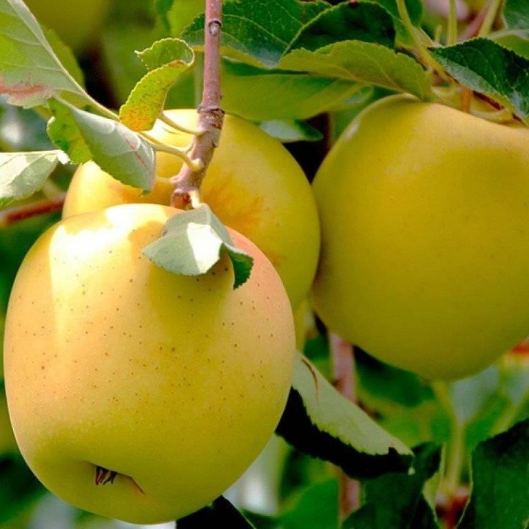 Яблоня голден делишес — превосходный сорт с ароматными сладкими плодами