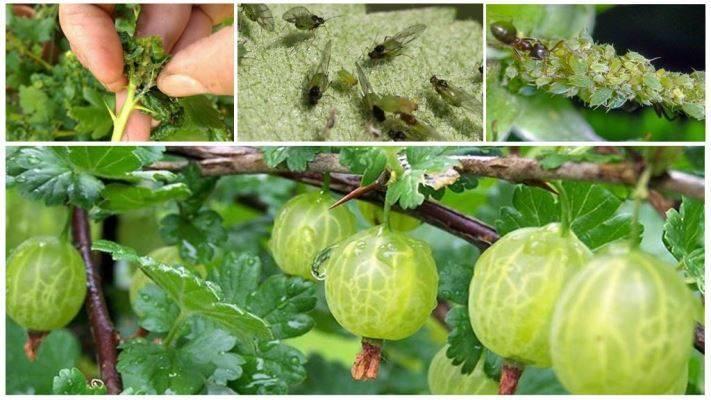 Чем обработать малину от болезней и вредителей