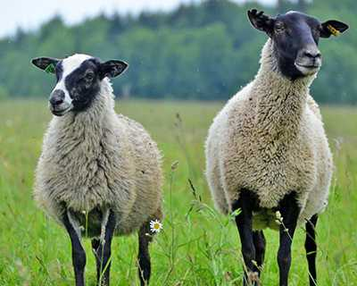 Особенности и характеристика тонкорунных овец, ТОП 6 пород и выход шерсти