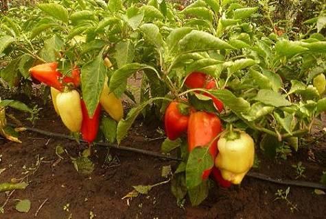 Описание перца «подарок молдовы»: чем хорош сорт и как правильно его выращивать