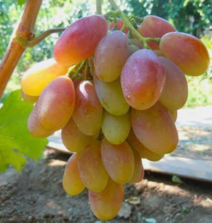 Любительский гибрид с карамельным ароматом — виноград «мускат новошахтинский»