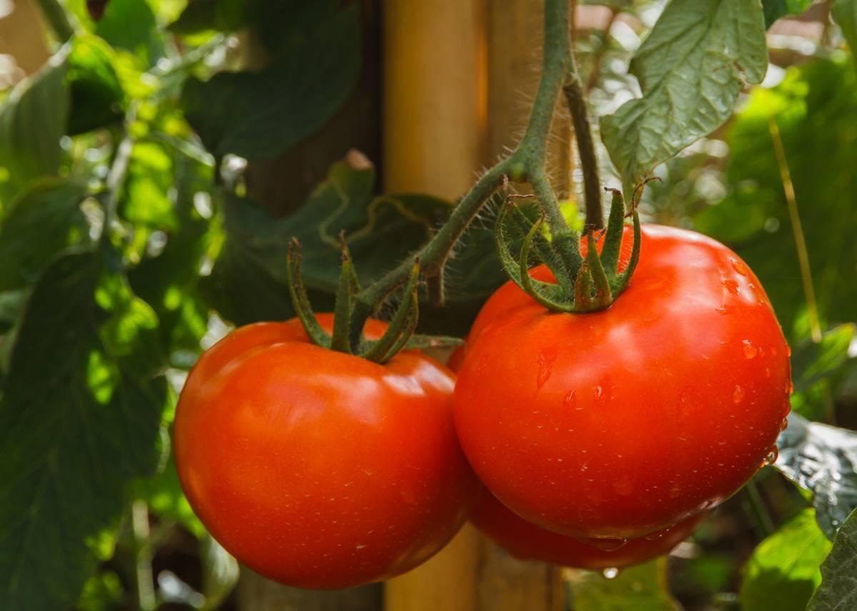 Помидоры бабушкин секрет или бабушкин узелок: урожайность и особенности выращивания сорта