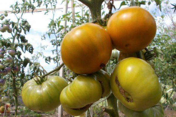 Описание сорта томата оранжевое чудо и его характеристики