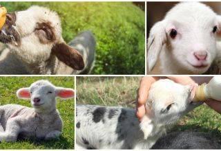 Лучшие мясные породы овец: названия и описания