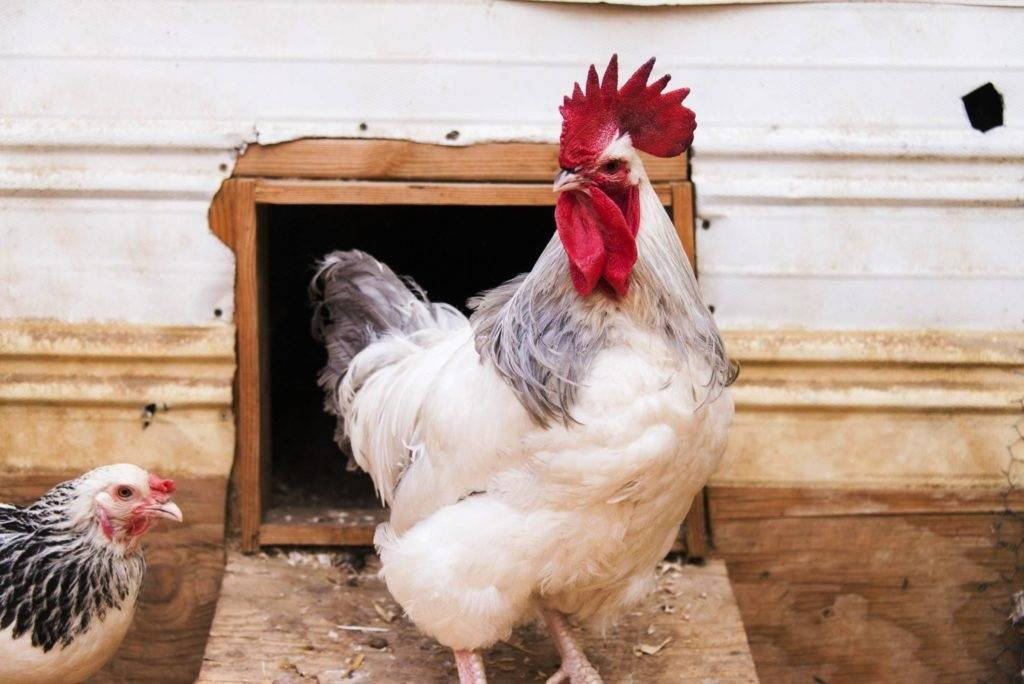 Сколько яиц в день может снести курица и от это чего зависит