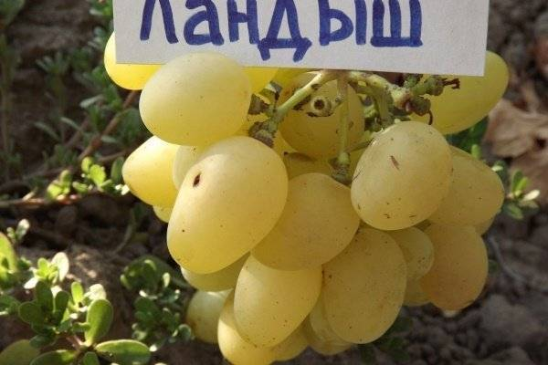 Описание винограда кишмиш лучистый