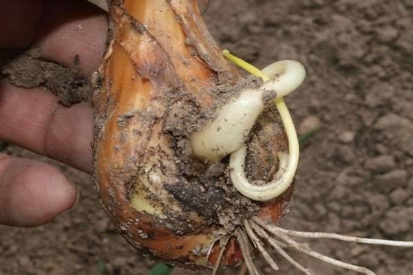 Почему гниет лук и как этого избежать