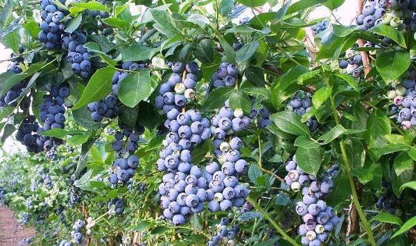 Посадка, выращивание и уход за голубикой в Подмосковье, выбор лучших сортов