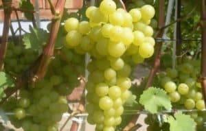 Описание винограда сорта Гелиодор, правила посадки и ухода