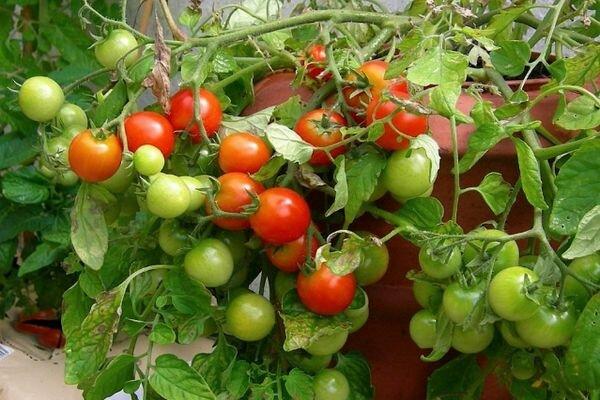 Выращивание томата Григорашик f1 и описание сорта