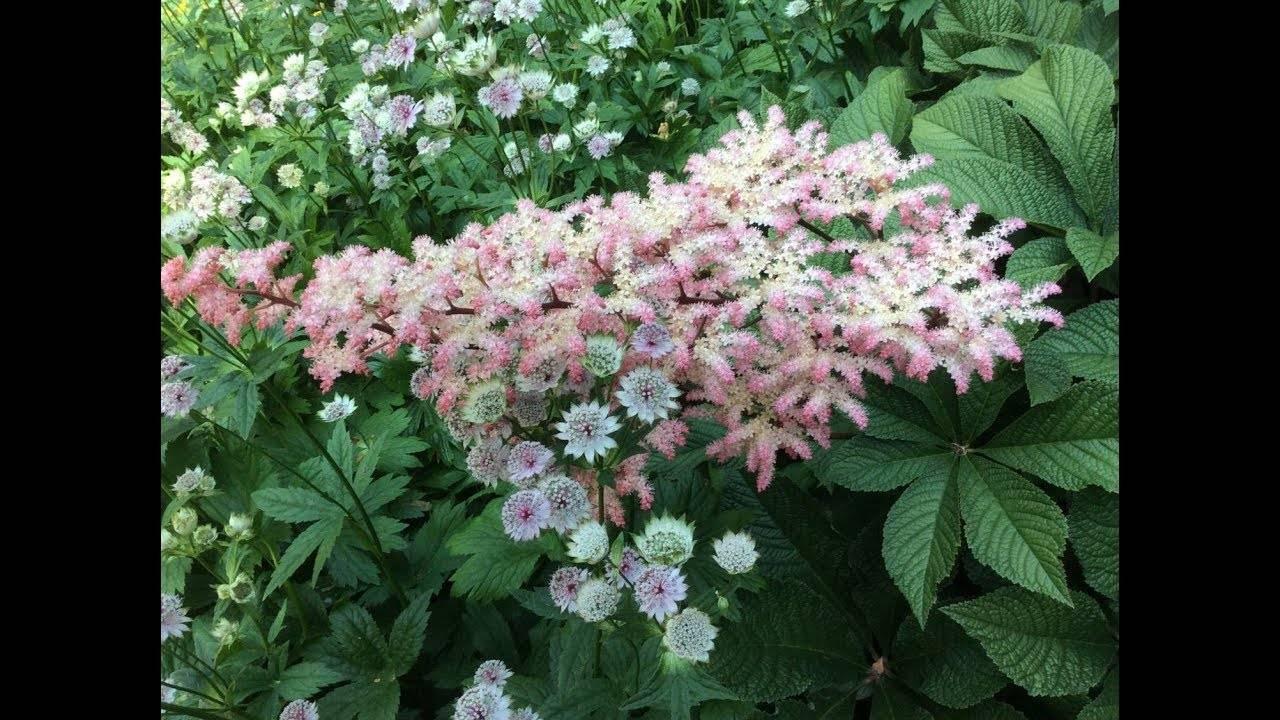 Роджерсии - виды, варианты и способы выращивания