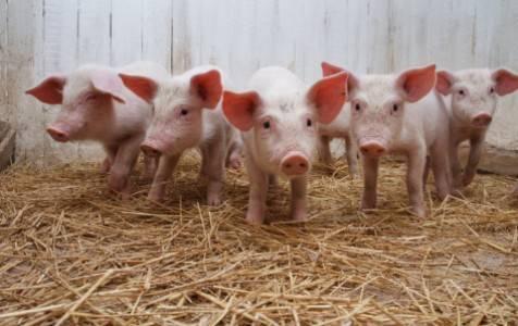 Домашние свиньи: чем кормить поросят, если они плохо растут