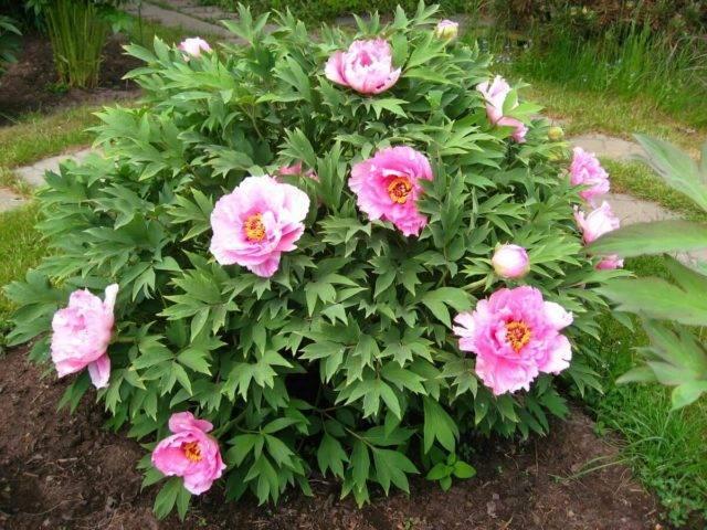 Пион древовидный – выбор для сада очевидный
