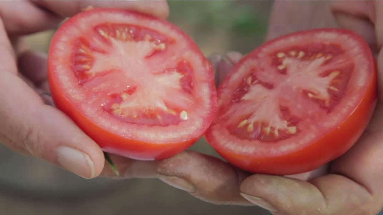 Томат любаша характеристика и описание сорта. фантастические ранние помидоры.