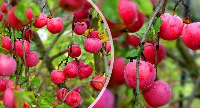 Описание и характеристики яблони сорта Звездочка, выращивание, посадка и уход