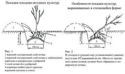 Какое расстояние между кустами смородины должно быть при посадке друг от друга