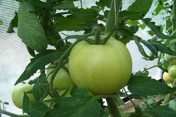 Cорт томата медовая капля