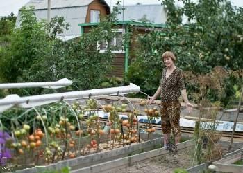 Характеристика и описание сорта томата корнабель, его выращивание