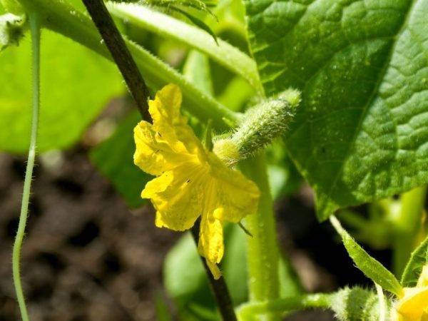 Огурцы «балконное чудо f1»: свежий урожай на балконе