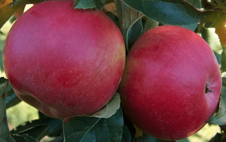Яблоко белорусское сладкое отзывы