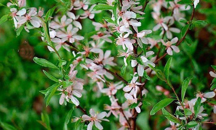 Сорт миндаля розовая пена – украшение вашего сада