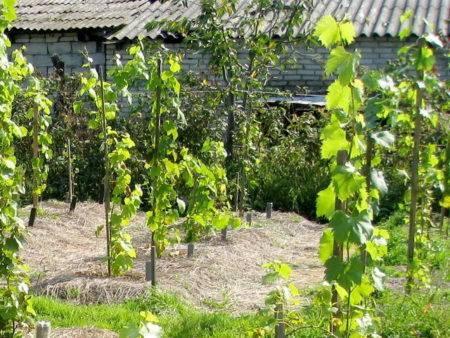 Вегетативное размножение девичьего винограда