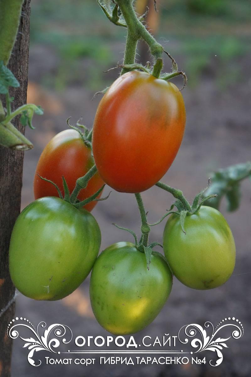 Улучшенный вкус — томат гибрид тарасенко 6: описание сорта и его характеристики