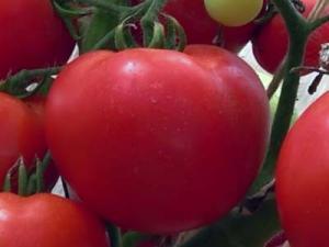 Созданный отечественными селекционерами гибрид, дающий шикарный урожай – томат «евпатор»