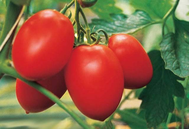 Лилия «марлен» – самое красивое и нежное украшение вашего сада