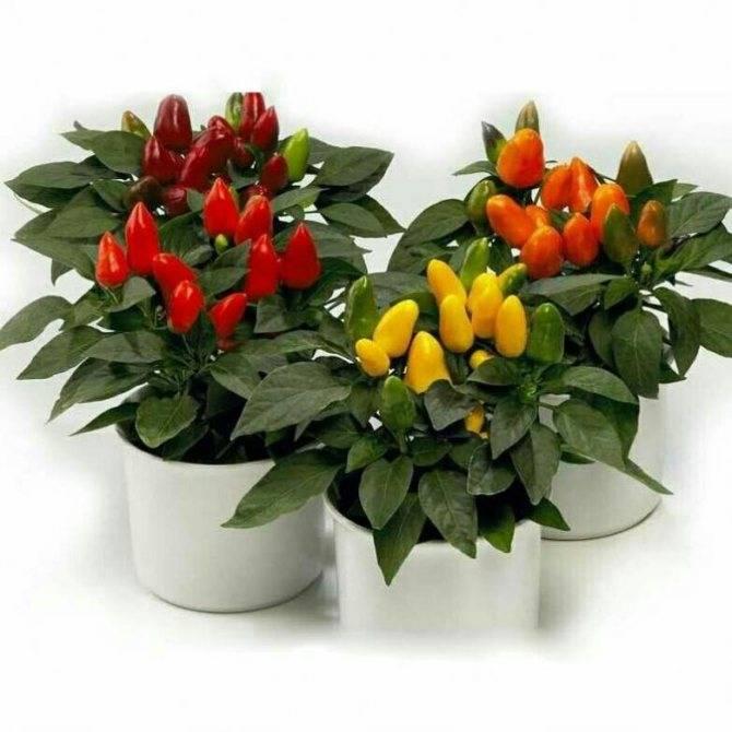 Выращивание хабанеро дома. особенности и секреты выращивания перца хабанеро в домашних условиях