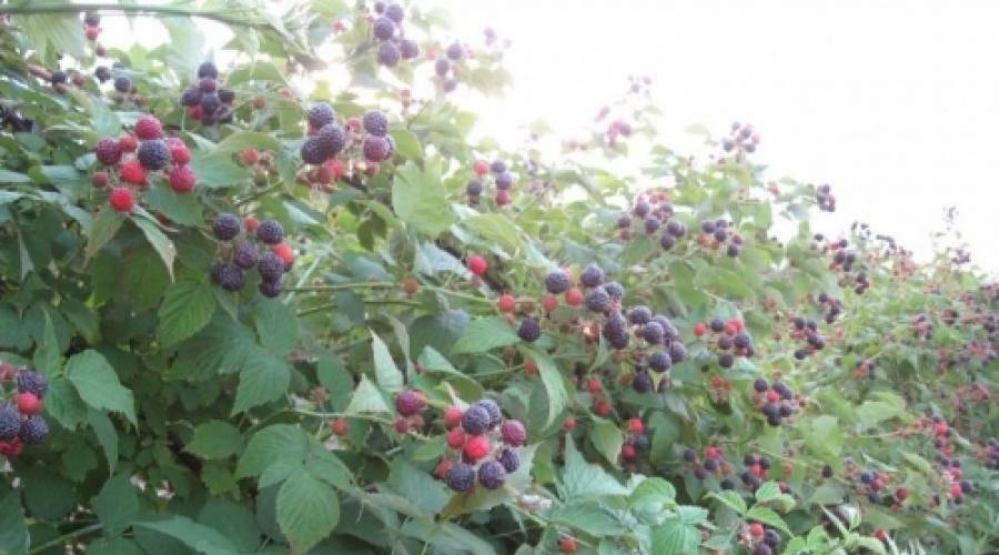 Лучшие сорта черной малины, посадка, выращивание и уход