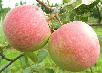 Характеристики и описание сорта яблони коробовка