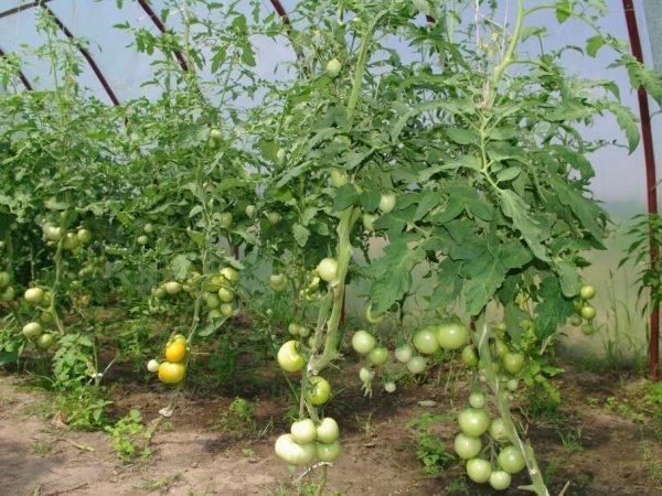 Помидоры в теплице: посадка, выращивание и уход в домашних условиях (86 фотографий)