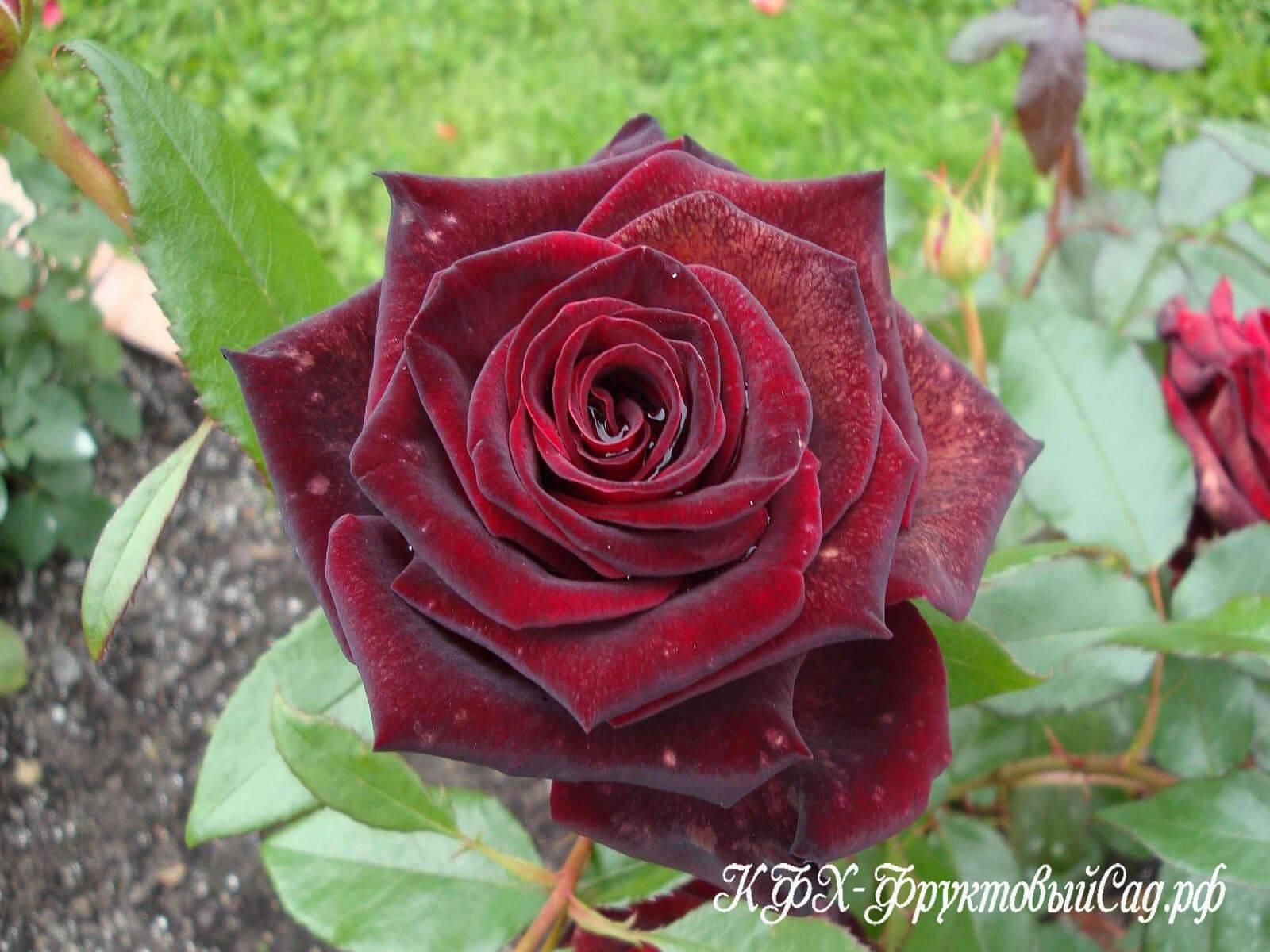 Роза «черная магия». описание сорта и правила ухода