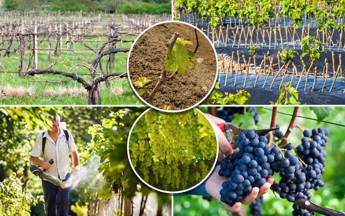 Размножение винограда черенками дома