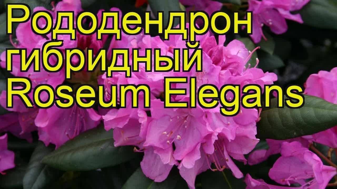 Описание и характеристики подсортов рододендрона Распутин, посадка и уход