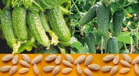 Проращивание семян огурцов: как сделать это правильно